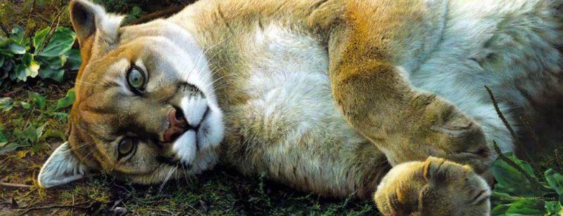 Carl Brenders-Good Life Cougar