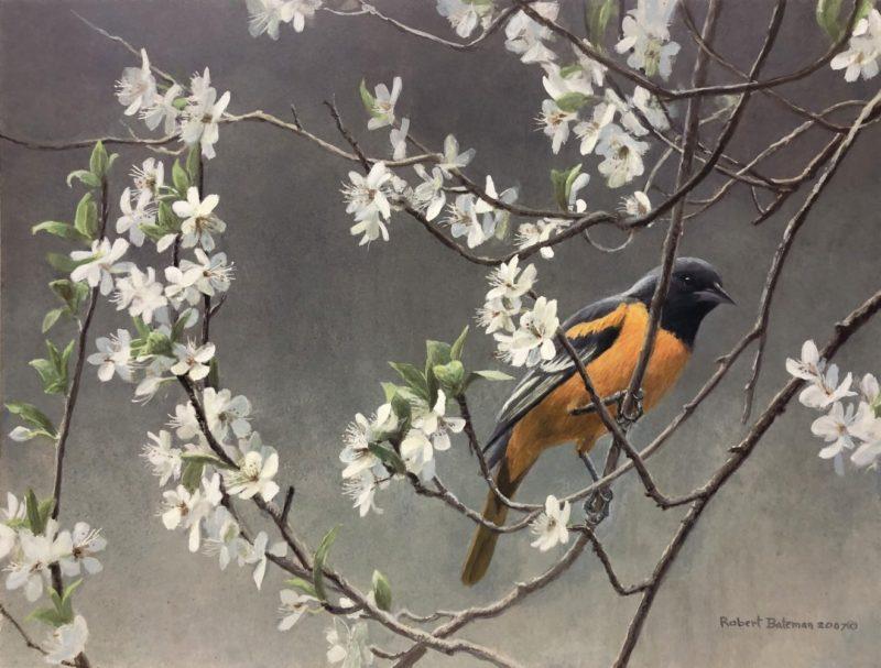 Robert Bateman-Baltimore Oriole and Plum Blossoms