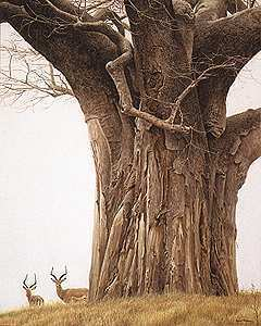 Robert Bateman-baobab tree and impala