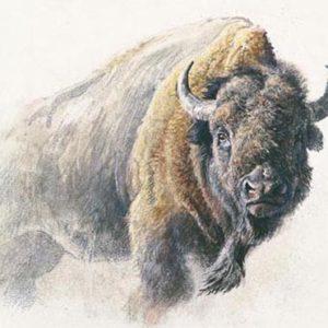 Robert Bateman-bison study