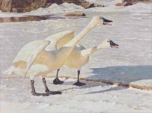 Robert Bateman-courting pair whistling swans