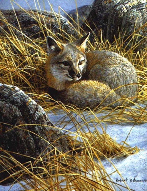 Robert Bateman-curled up swift fox