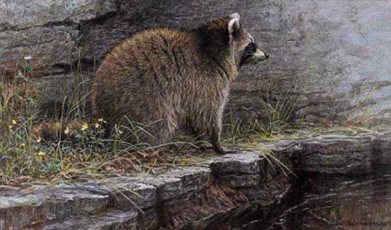 Robert Bateman-distant danger raccoon