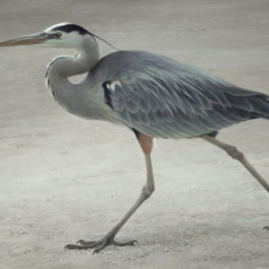 Robert Bateman-full stride great blue heron