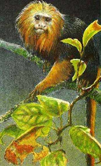 Robert Bateman-golden headed lion tamarin