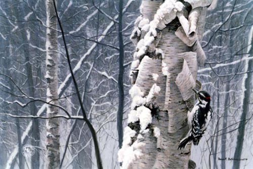 Robert Bateman-hairy woodpecker on birch