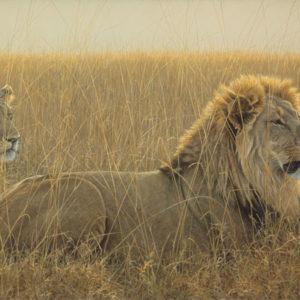 Robert Bateman-lions in the grass renaissance giclee