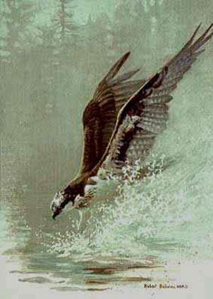 Robert Bateman-lunging osprey