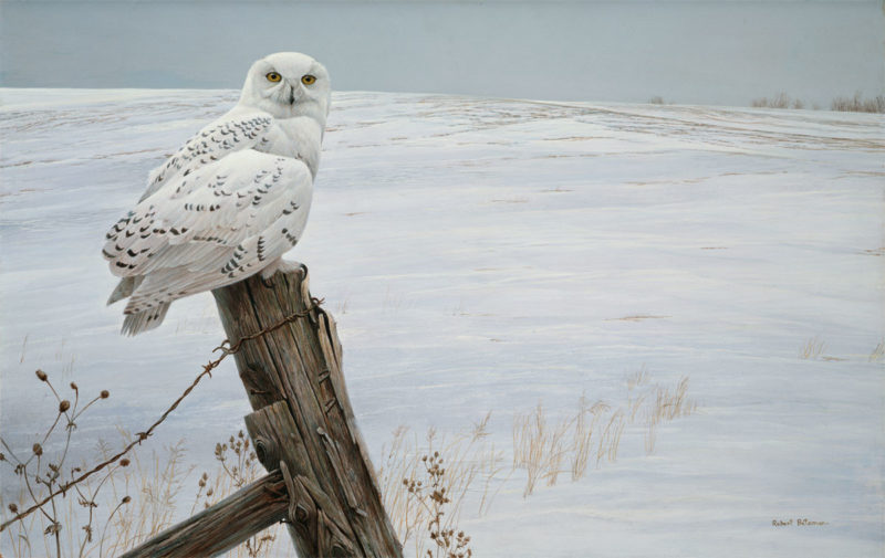 Robert Bateman-ready for the hunt snowy owl