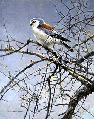 Robert Bateman-sappi pygmy falcon
