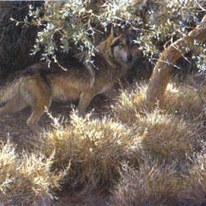 Robert Bateman-sierra evening mexican wolf