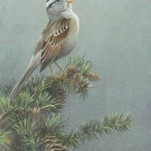 Robert Bateman-white crowned sparrow in douglas fir