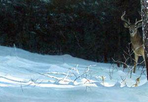 Robert Bateman-whitetail in winter