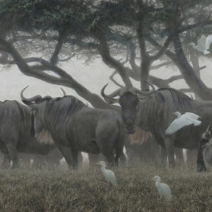 Robert Bateman-wildebeest and egrets