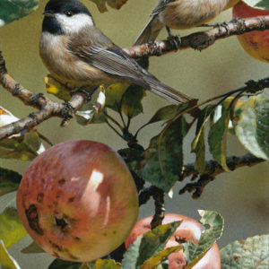 carl brenders-chickadee and apple tree