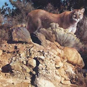 carl brenders_cliff dweller cougar