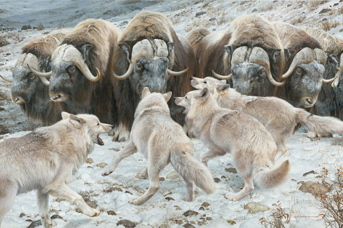 carl brenders-fortress musk oxen