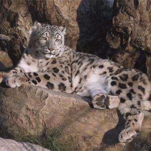 carl brenders-ghost cat snow leopard