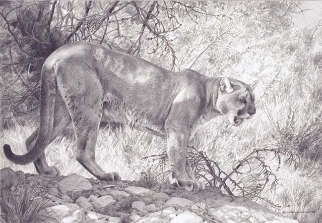 carl brenders-ghost cat cougar pencil drawing