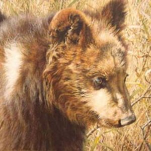 carl brenders-grizzly cub