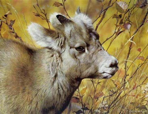 Carl Brenders-Mountain Baby Bighorn Sheep
