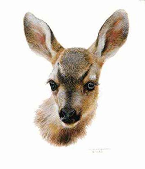 Carl Brenders-Mule Deer Fawn study