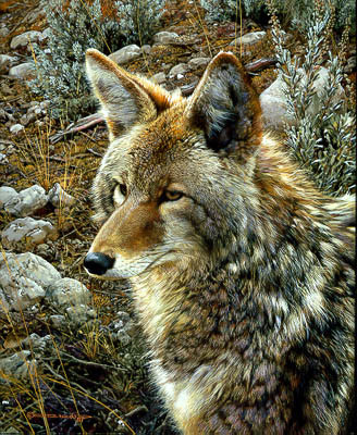 Carl Brenders-Natural Survivor Coyote