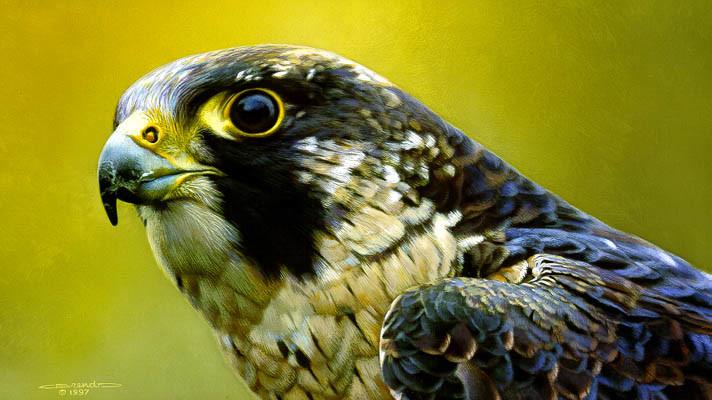 Carl Brenders - Peregrine Falcon Portrait