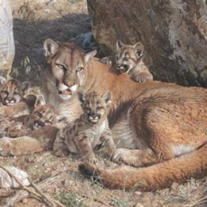 Carl Brenders - Rocky camp-cougar family