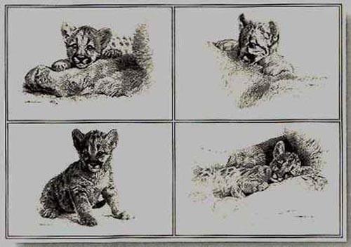 carl brenders-rocky camp cubs pencil