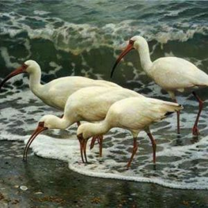 carl brenders-shoreline quartet white ibis