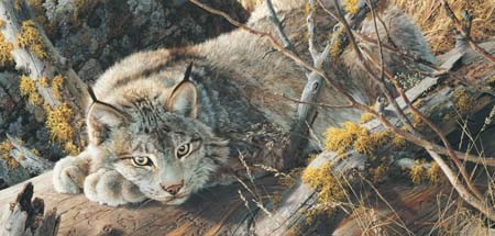 carl brenders take five canada lynx
