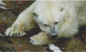 carl brenders-top of the world polar bear