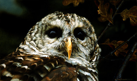 carl brenders-up close barred owl