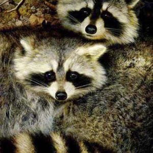 carl brenders-yin and yang raccoons