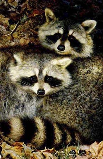 carl brenders-yin and yang raccoons