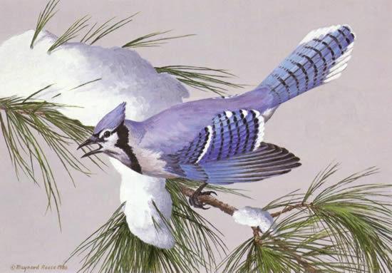 maynard reece-white pine bluejay