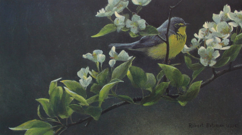 Robert-Bateman-Canada-Warbler-and-Plum-Blossoms