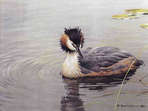 Robert Bateman - Great Crested Grebe